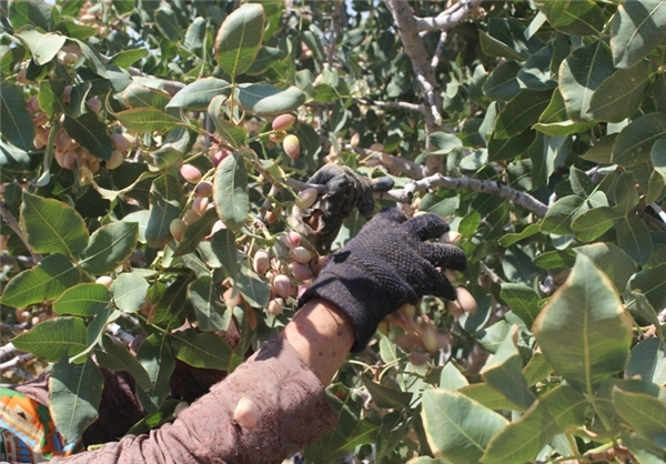 harvesting dates and pistachios in the south of Kerman