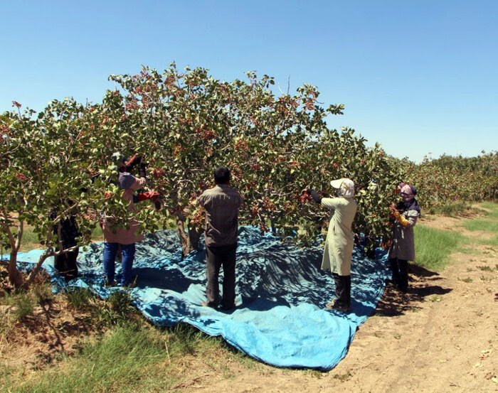 120 tons of dried pistachios south of Kerman