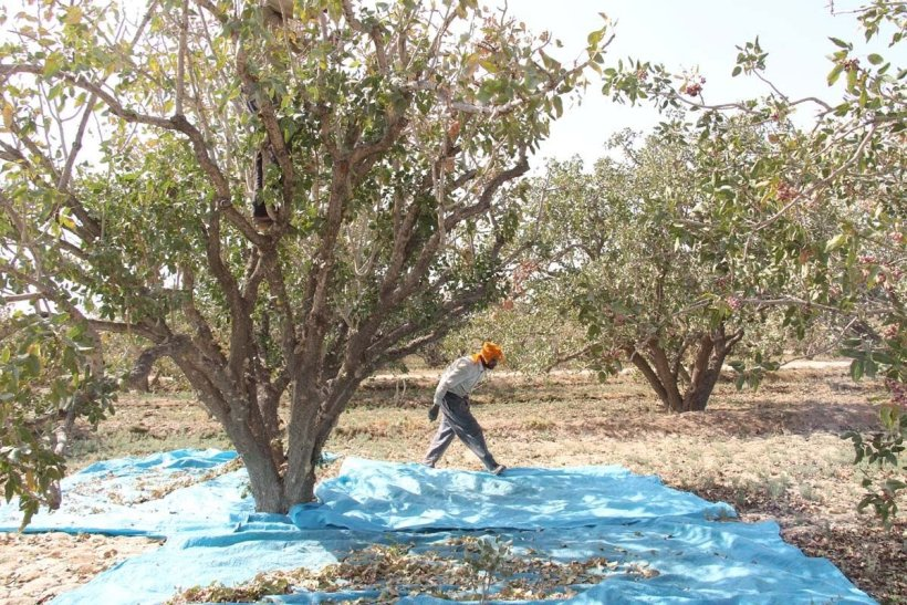 28,000 tons of pistachios were harvested from khoshab orchards in Khorasan Razavi