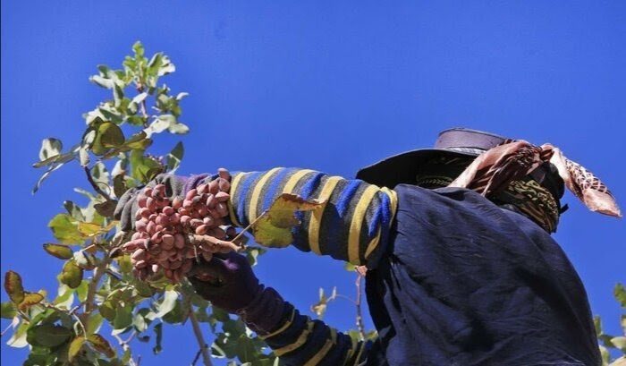 16,000 tons of pistachios are harvested in Sirjan