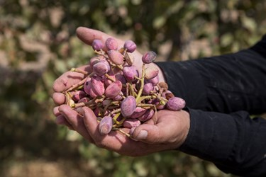 Production of fragrant pistachios in Khorasan Razavi exceeded 12,000 billion rials