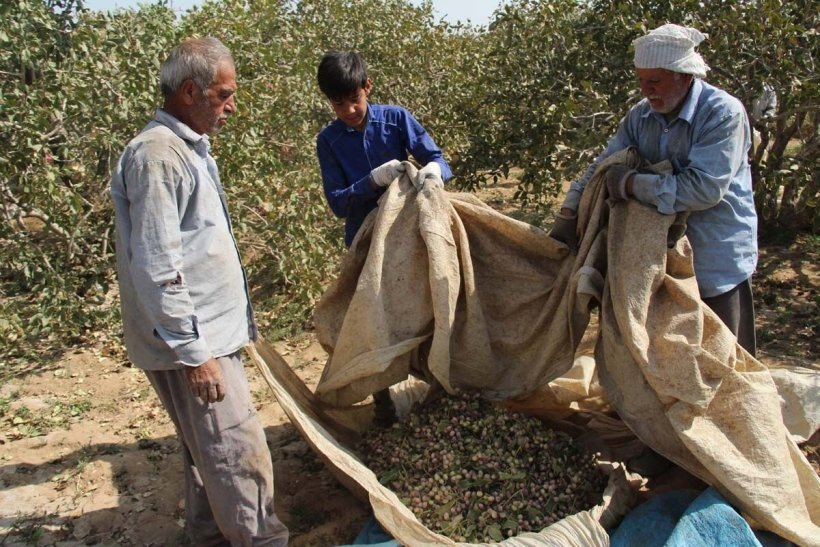Harvesting pistachios on 2,000 hectares of fertile orchards in Bam